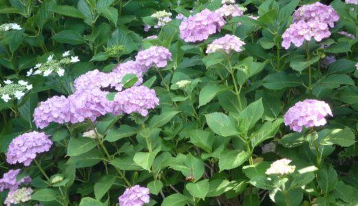 紫陽花の剪定の時期はいつ?挿し木の増やし方と小さくコンパクトにする方法があった!