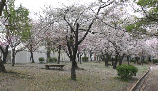 大阪桜の花見・穴場スポットはどこ?永楽ダム・岸和田城・天保山公園がお勧め!