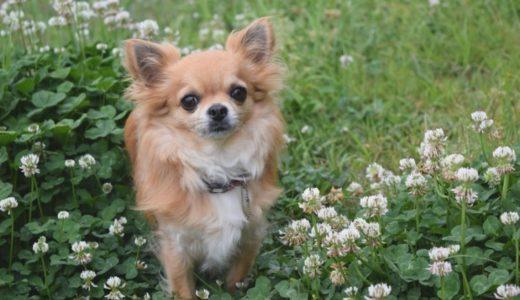 犬が吐く原因・犬の吐しゃ物の色による違いと空腹嘔吐の対処方法とは?