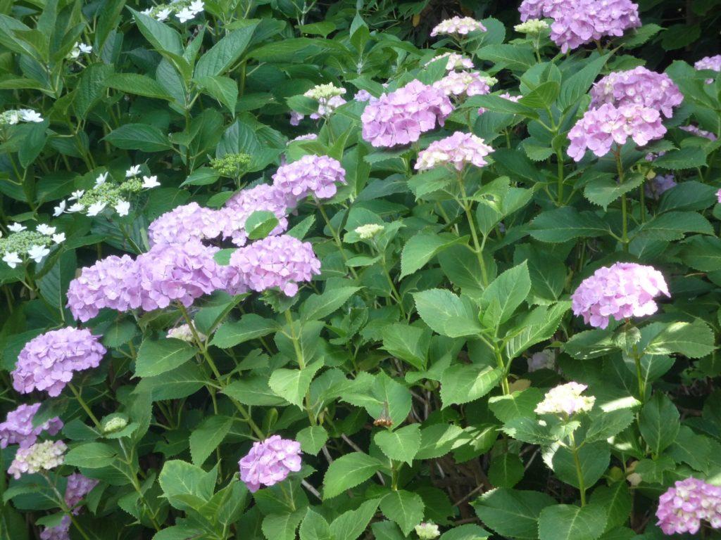 挿し木 紫陽花 方法 の の