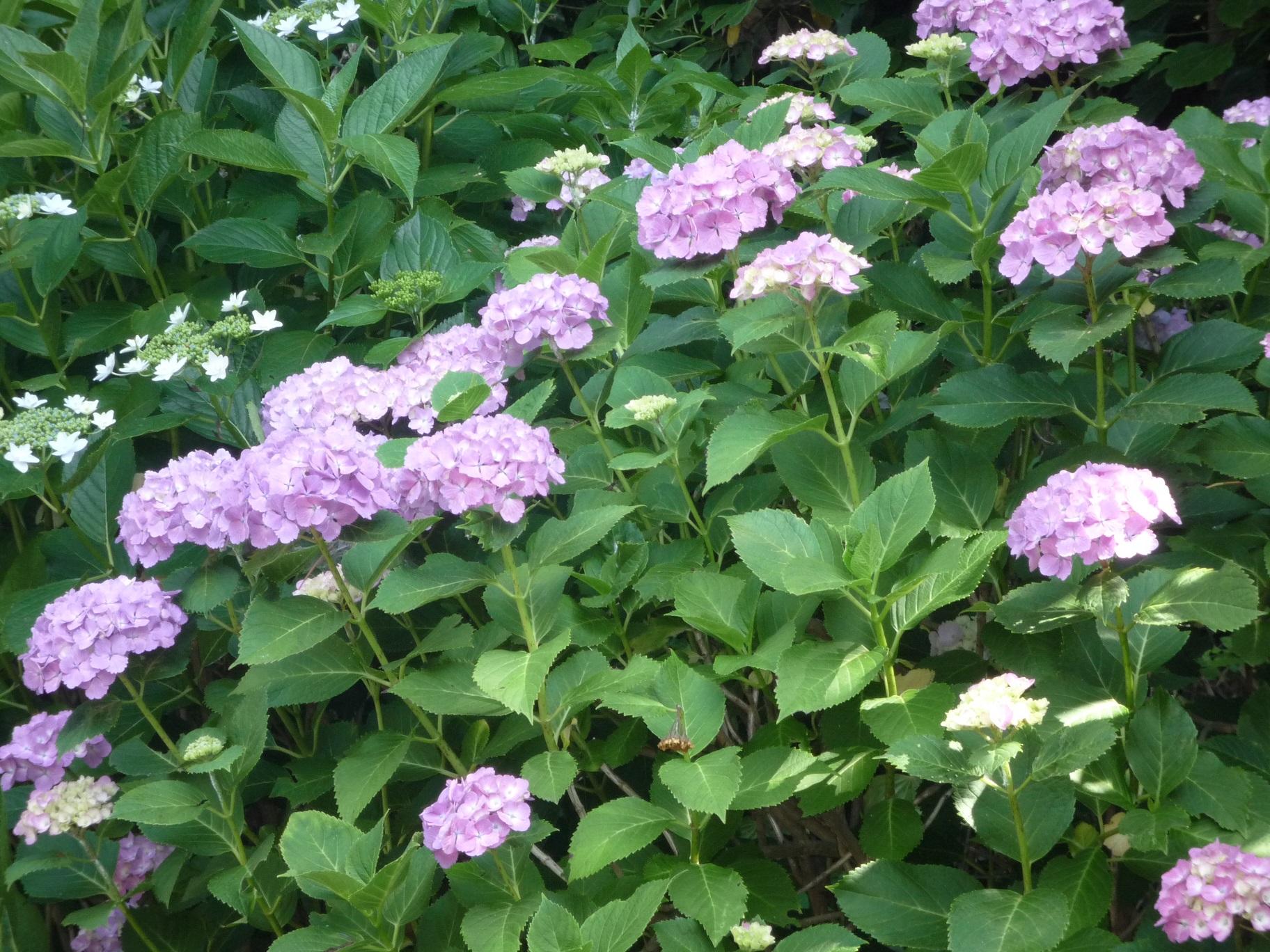 時期 紫陽花 挿し木 紫陽花を地植えする時期は?万華鏡なら挿し木・鉢植えがおすすめ?