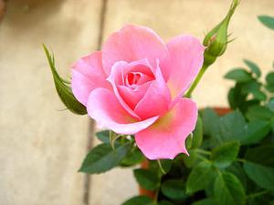 ミニ薔薇の鉢植え剪定のやりかたは?趣味の園芸の動画でチェックしてみた!