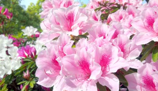 庭のツツジの剪定の時期や方法は?毎年きれいに咲かせるポイントをチェック!