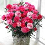 母の日に貰ったカーネーションの蕾が咲かない!咲かせる為の対処法と育て方