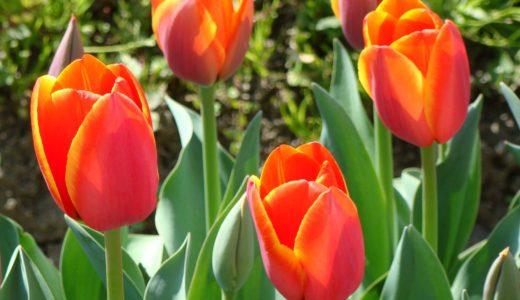 チューリップの球根の増やし方は?翌年も咲かせる為の育て方と肥料や保存方法