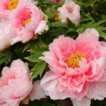 牡丹の育て方は初心者にはむつかしい?翌年花が咲かない原因を検証してみた!