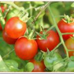 初めてのベランダ菜園ミニトマトの育て方は?失敗しない土・苗選び・植えつけの向き