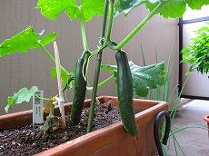 はじめてのベランダ菜園・プランターにキュウリを植える時期や上手な植え方