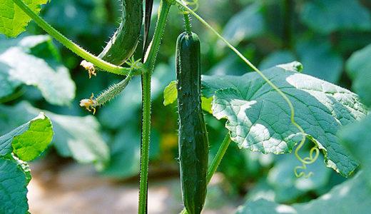 はじめての家庭菜園・キュウリが曲がったり苦いのは水不足・肥料過多が原因だった