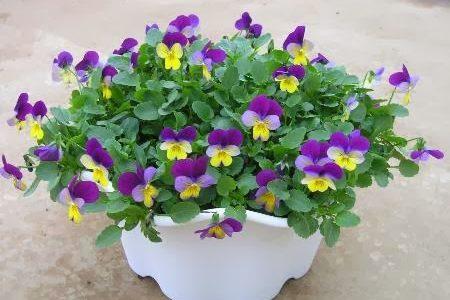 パンジー・ビオラの花を夏まで長く楽しむ方法は?切り戻しや摘心のポイント