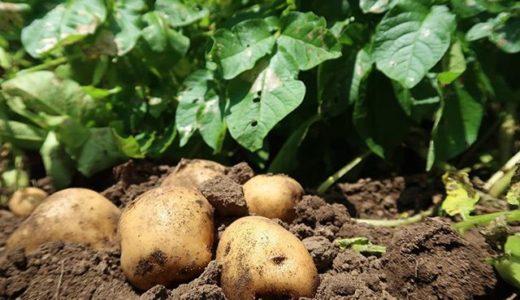 ジャガイモの植え付け時期はいつ?初心者でも失敗しない種イモ選びと栽培方法