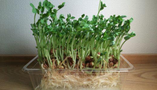 豆苗の再生栽培は何回まで?豊富な栄養素や育て方の3つのポイント