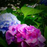 庭のアジサイの花の色は変えれる!好みの花色のアジサイに変える方法とは?
