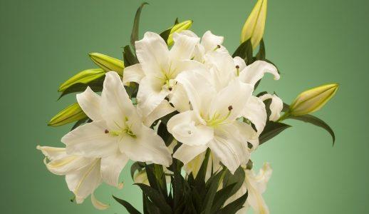 カサブランカの育て方のポイント・翌年も咲かせるために花後にするべき事は?