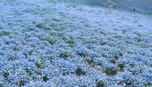 ネモフィラ祭り大阪へのアクセスは?広大な敷地に広がる100万株の青い花と絶景