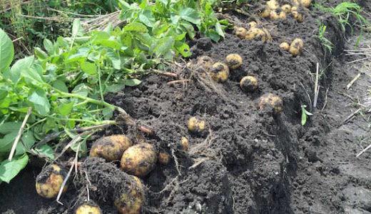 ジャガイモの芽かき後にする作業は土寄せ・追肥・害虫対策・花が咲いたら取る
