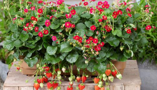 四季なりイチゴ・ローズベリーレッドの育て方は簡単!丈夫で育てやすい品種