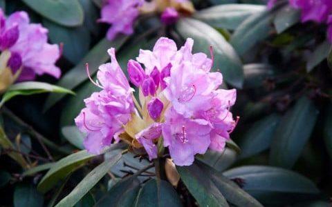 シャクナゲの上手な育て方のコツ・毎年咲かせるためにするべき対策をチェック
