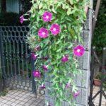 しだれ咲き朝顔・恋しぐれの特徴や育て方と花をたくさん咲かせる摘心の方法