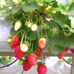 四季なりイチゴローズベリーレッドの初めての収穫と増やし方