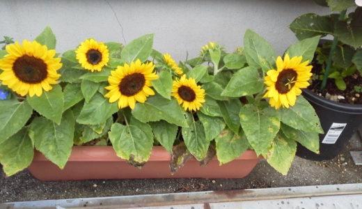 ミニひまわり小夏の種まきの時期とたくさん咲かせるには摘芯することがポイント