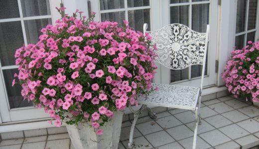 育てやすい夏の花ペチュニア・ガーデニング初心者が失敗する原因