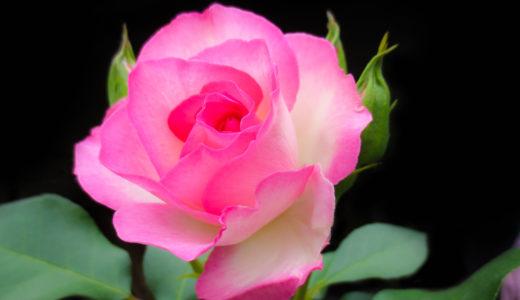 バラの葉が黄色くなり落ちる原因は早目の対処法で再生できる!