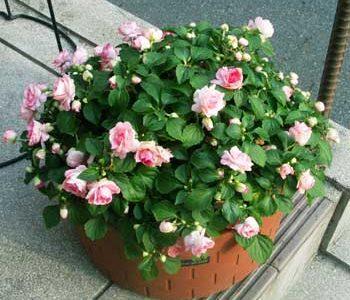 八重咲きインパチェンスカリフォルニアローズの花が咲かない原因