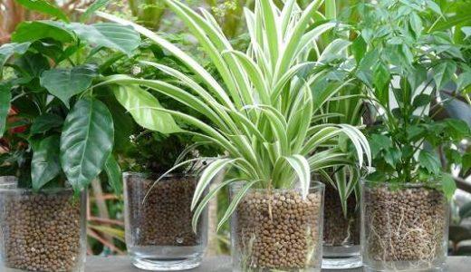 ハイドロカルチャーでの観葉植物の育て方やメリットとデメリット