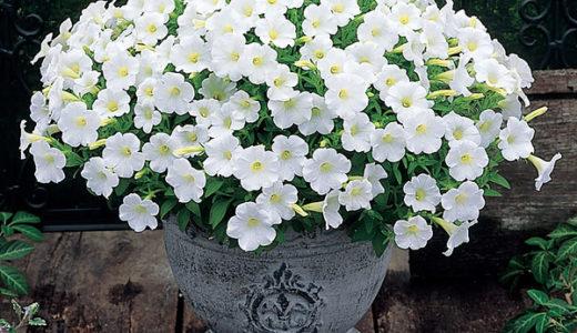 ペチュニアの花をたくさん咲かせる為にする摘芯と切り戻しの違い