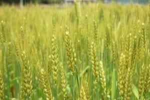 もち麦の栄養成分とダイエット効果とは?もち麦ご飯の美味しい炊き方