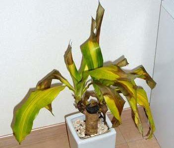 観葉植物の葉が黄色くなる原因・枯れた時の対処法や復活させる方法
