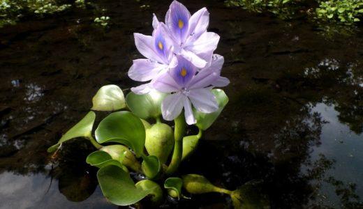 ベランダでビオトープとは?メダカが喜ぶお勧めの水生植物の種類