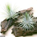 エアープランツの種類と飾り方・葉や根が枯れかけた時の対処法