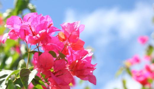 ブーゲンビリアの花にトゲが多いのは水と肥料の与え過ぎ
