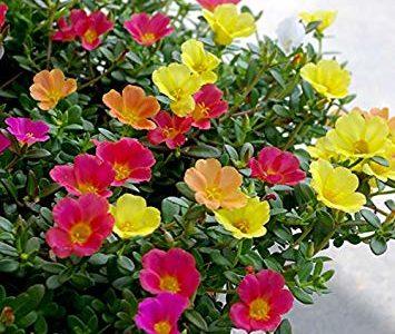 ポーチェラカの切り戻しの時期や挿し芽の方法と冬越しの仕方