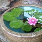 メダカのビオトープのスイレンの花が咲かない原因と対処法