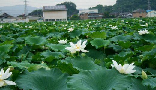 連島レンコン畑の蓮の花の見頃はいつ?レンコンの栄養価と収穫時期