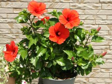 ハイビスカスを大きくしない植え替え方法や時期と土の配合