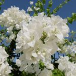 ブーゲンビリアの種類と花が咲かない時や蕾が落ちる時の対処法