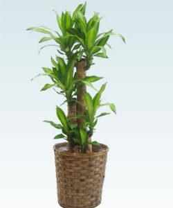 幸福の木の葉が茶色くなり始めた原因は?育て方と水やりのポイント