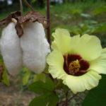 綿の花の育て方と収穫時期や採取時の注意点と綿の使い方