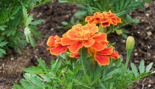 マリーゴールドは家庭菜園のコンパニオンプランツに欠かせない花