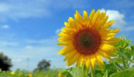 ひまわりの種の栄養価と効果は?収穫の時期や食用としての食べ方