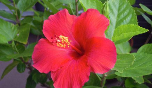 ハイビスカスを翌年もたくさん咲かせる為にする事は剪定と冬越し