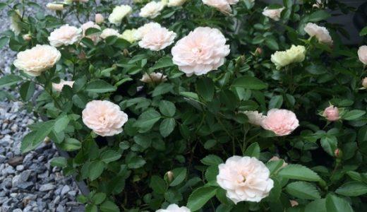 四季咲きミニバラ・人気のグリーンアイスの育て方のポイントと剪定