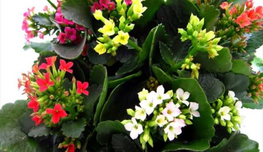 多肉植物カランコエの花が咲かないのはなぜ?開花させる為の短日処理