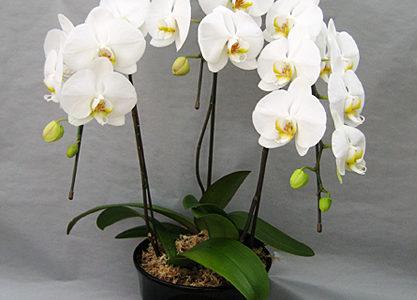 胡蝶蘭の花を翌年も咲かせる為には成長期に与える肥料頻度が重要
