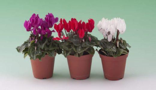 ガーデンシクラメンを翌年も咲かせる夏越しと冬越しの方法