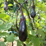 なすの更新剪定の時期はいつ?美味しい秋ナスの収穫と害虫対策
